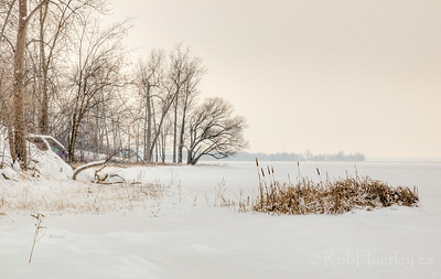 Cattails along the Ottawa River shoreline in winter. This location is just 10 minutes by foot from my house.