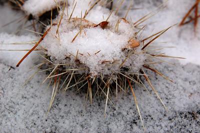 Snow urchin.... Well it looks like a snow-covered sea urchin I think. Actually it is a snow-covered prickly pair, Opuntia hybrid Nikolaj in my winter hardy cactus garden.