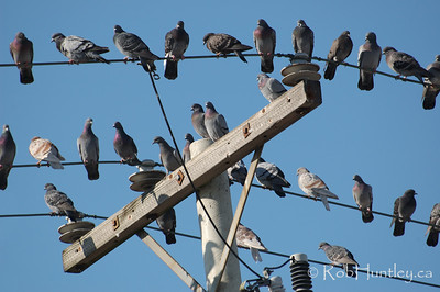 Pigeons on a telephone pole in Ottawa's west end.