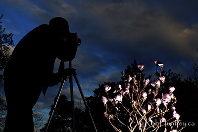 Photographer Bruce Amos and magnolias in the evening light