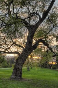 Crooked tree in the arboretum