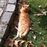 Grumpy Irish Ginger Cat