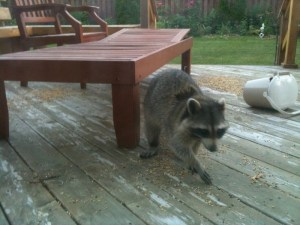 Oh no! A racoon!