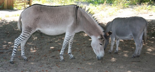 Zedonk. Yup, that's a zebra x donkey