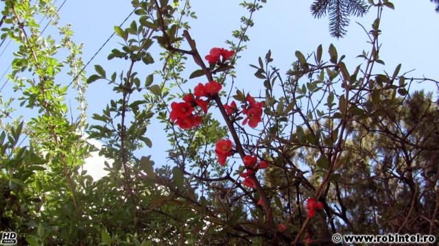 Un copac înflorit, cu flori roz (mi se pare că este corcoduș sau zarzăre)
