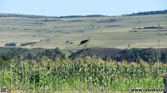 Un steag negru improvizat într-un lan de porumb de lângă Cluj