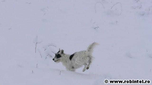 Peticel, cățelușa lui Bianca, jucându-se în zăpadă