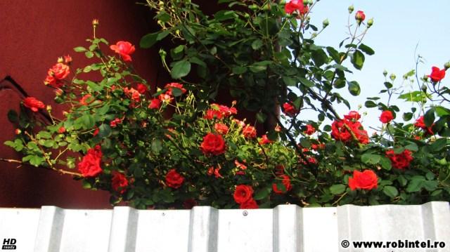 Trandafiri roșii văzuți peste un gard metalic - o pată de culoare pe lângă vremea de afară