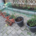 Tomatoes and peppers in pots started by my co-gardening neighbour.