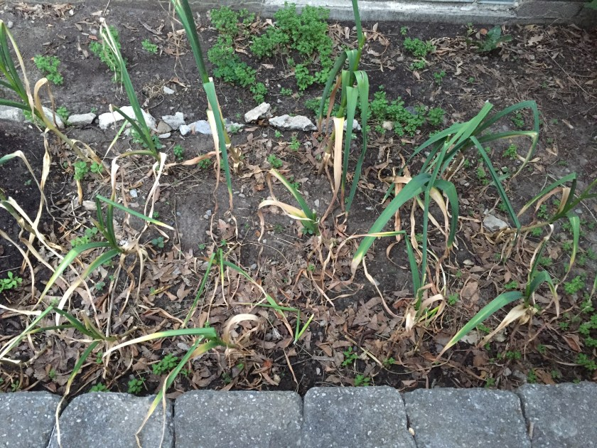 Garlic - Ready to harvest