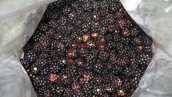 Freshly picked blackberries from Devon