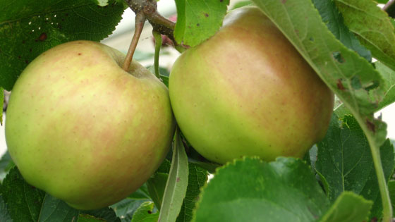 Apples ripening in the sun