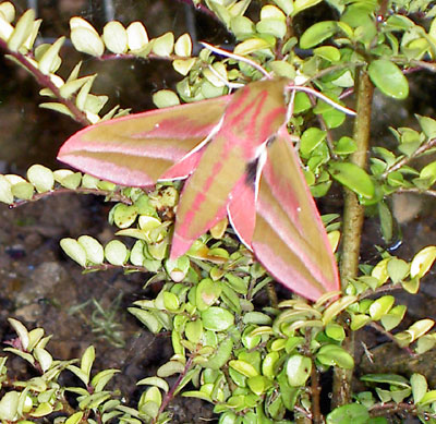Adult elephant hawk moth on a fuchsia