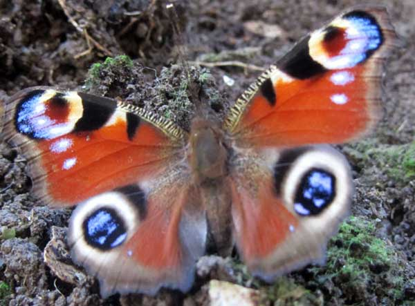 Peacock butterfly in Ilfracombe, North Devon, March 2011