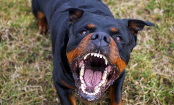 Lo atacó un perro Rottweiler: Le provocó lesiones en el torso y en uno de sus brazos