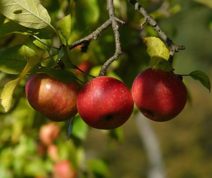 Propiedades del manzano:  alimentarias y medicinales. Fruta, infusiones de flores y hojas y el vinagre