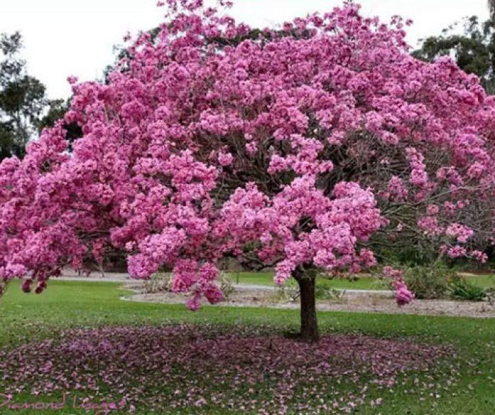 Lapacho (Tabebuia avellanedae o Handroanthus impetiginosus), árbol tropical con extraordinarias cualidades medicinales y dentro de ellas, contra cánceres