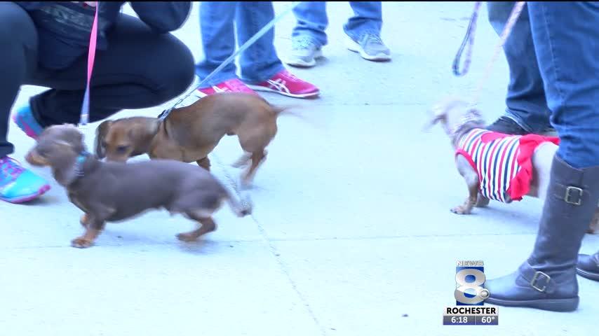 Sixteenth annual dachshund parade_22008235