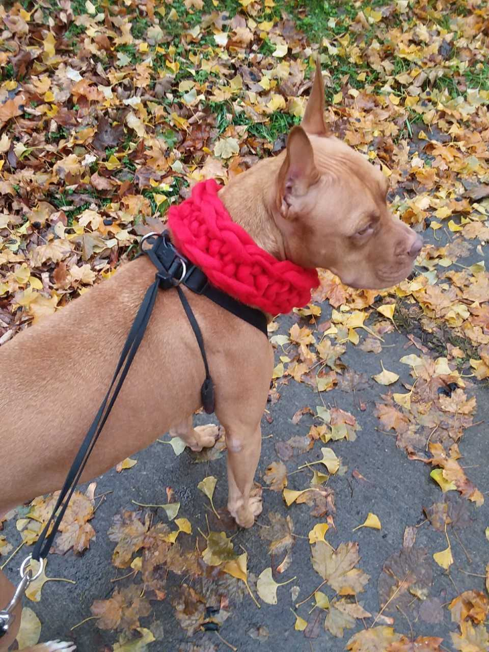 Pit bull with scarf on fall picture_1540137186967.jpg.jpg