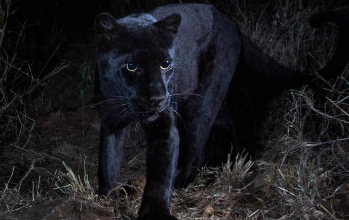 African black leopard_1550053555334.jpg.jpg