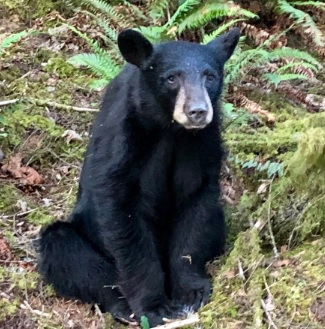 Hibatuated black bear killed in Oregon_1560512961467.jpg.jpg