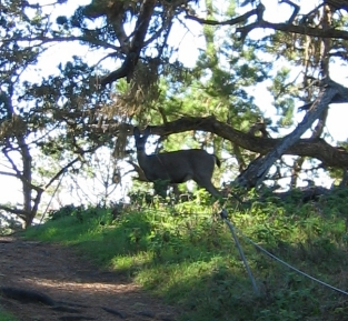 A deer at Point Lobos