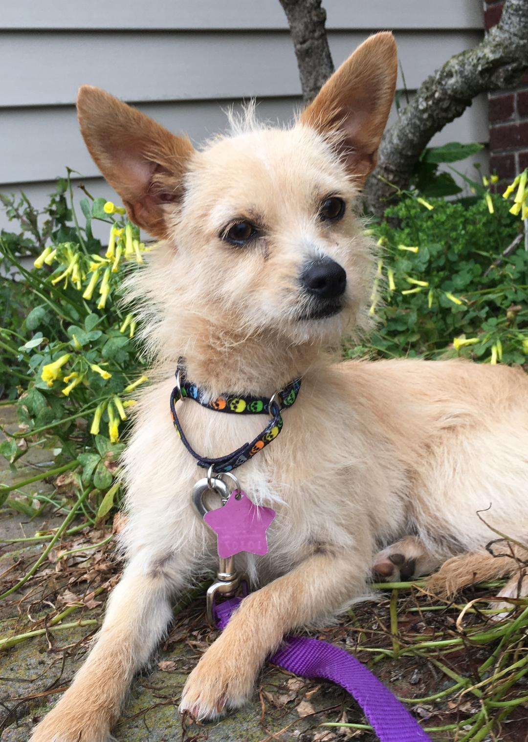 Chihuahua Terrier Mix Breed