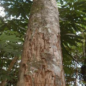 chuchuhuasi tree