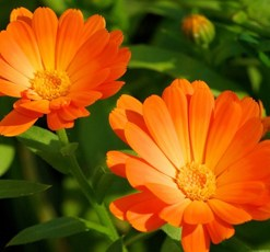 essential oil calendula 2