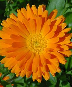 essential oil calendula