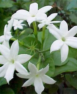 essential oil jasmine flower