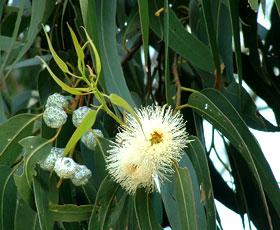 essential oil eucalyptus 2