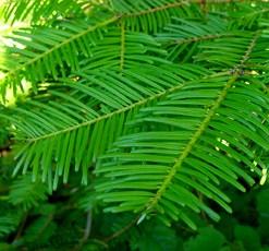 essential oil spruce hemlock 2
