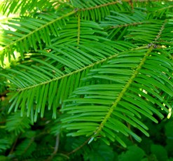 essential oil spruce hemlock 2