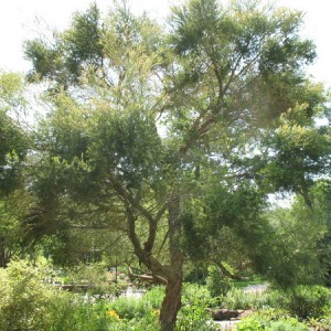 essential oil tea tree
