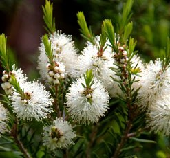 essential oil tea tree 2