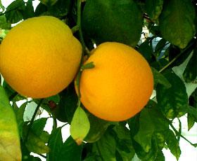essential oil grapefruit pink 2
