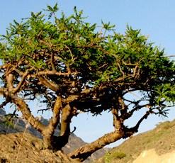 essential oil frankincense tree