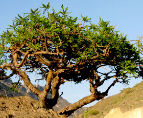 essential oil frankincense tree