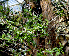 essential oil myrrh resin tree