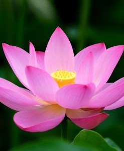 Pink Lotus Absolute Oil Flower