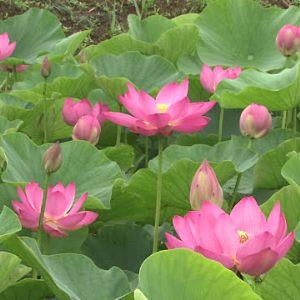 pink lotus absolute oil 2