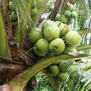 Virgin Coconut Oil_Tree