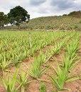 Aloe_farm