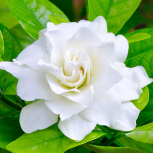 essential oil gardenia