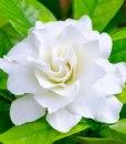 essential oil gardenia