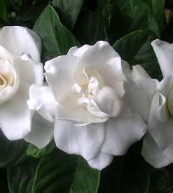 essential oil gardenia 2