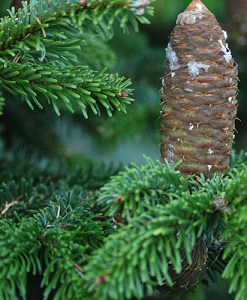 essential oil abies alba