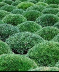 Essential Oil Pinus Mugo 2