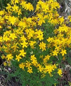 essential oil St.JohnsWort 2